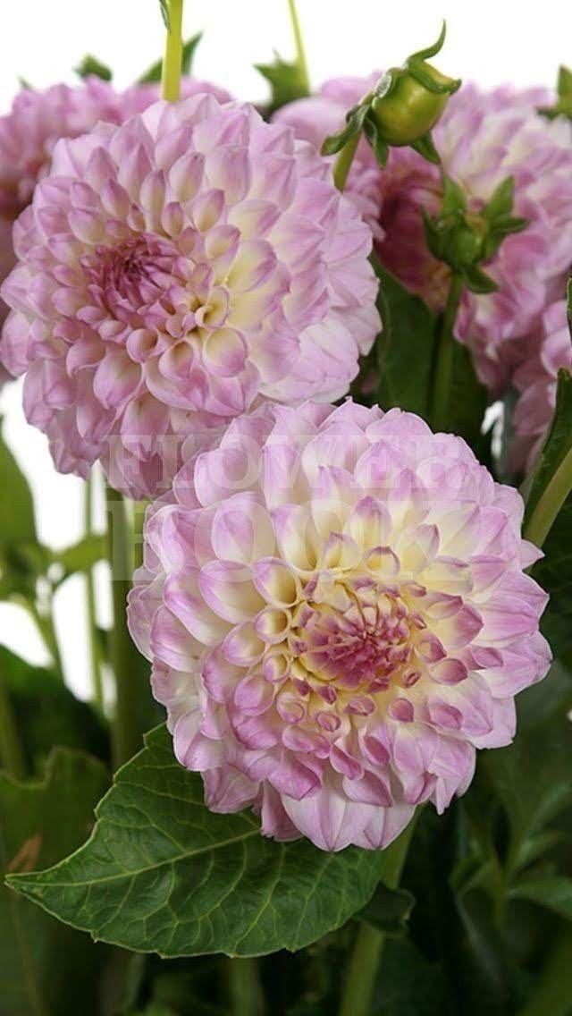 Английский, оптовая продажа цветов георгин