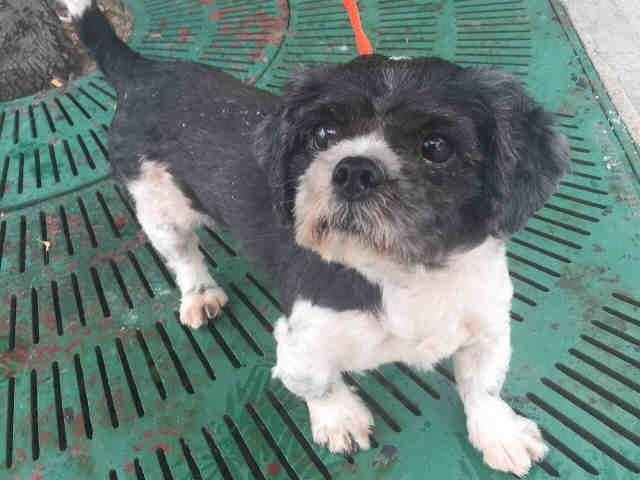 THOR - A1092858 - - Brooklyn  Please Share:TO BE DESTROYED 10/14/16 **NEEDS A NEW HOPE RESCUE TO PULL** Thor is only 5 years old but may not see another day if the ACC has their way. He was found as a stray, a small black and white shitzu mix just trying to survive the best he could in the big city. When he arrived at the ACC, he allowed them to photograph him and give him an exam. Fast forward to the assessment test and all his fears came to a head for the paw squeeze test