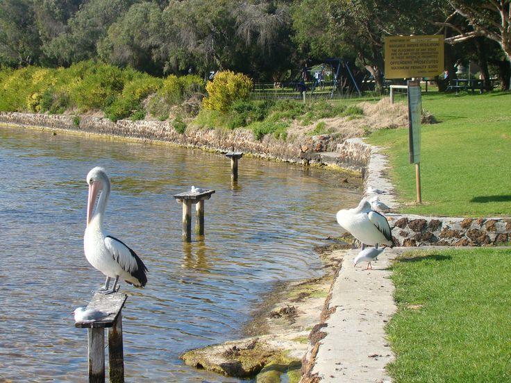 Pelican on Blackwood River, Augusta, Western Australia