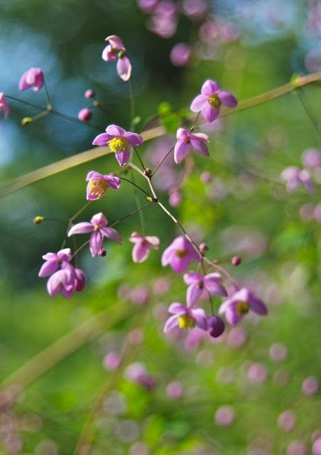 49 Best Images About Thalictrum On Pinterest Gardens