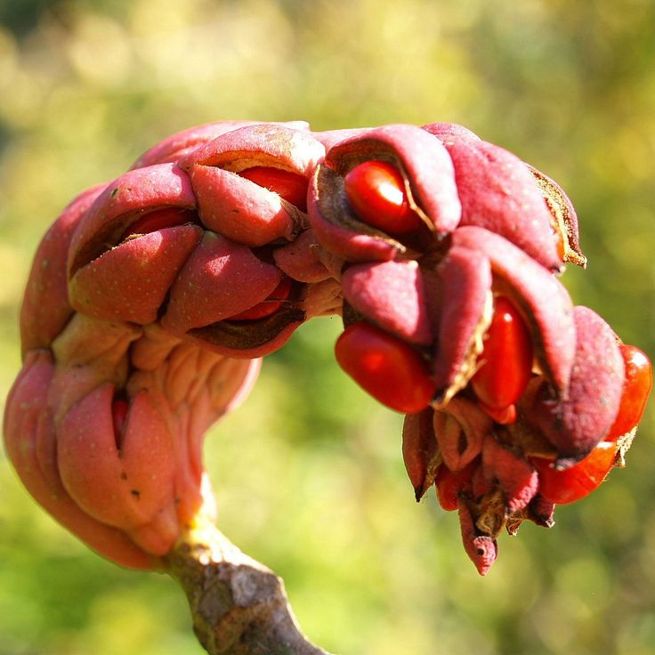 die unglaubliche frucht der tulpen magnolie plants i know pinterest plants. Black Bedroom Furniture Sets. Home Design Ideas