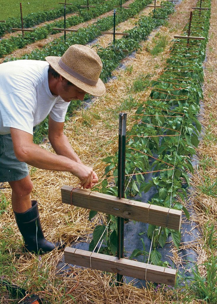 How to grow bell peppers two level trellis to support pepper plants diy gardening pinterest - Planting pepper garden ...