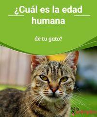 ¿Cuál es la edad humana de tu gato?  Dicen que un año canino son siete humanos, ¿y los gatos? ¿Cómo podemos calcular su edad humana? ¡Te lo contamostodo en este artículo! #salud edad #gato #humana