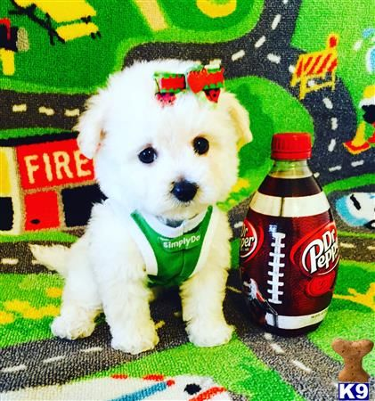 Maltipoo Puppy for Sale: ToyMaltipooPuppies 10 Weeks old