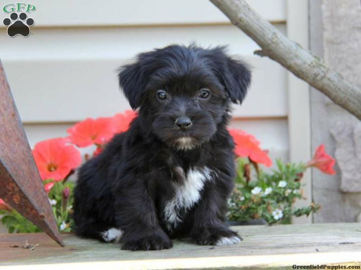 Gage, Yorkie-Chon puppy for sale from Ephrata, PA