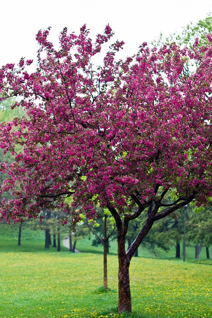 25 beautiful flowering crabapple ideas on pinterest for Small flowering trees for front yard