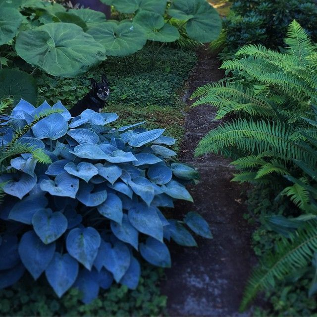 A blue halcyon hosta keeps Mortimer cool company under a Petasites leaf in the shade garden at home. #seattlegarden #greenlake #seattlesecretgarden #walkswithmortimer #shadegarden #woodlandgarden #hosta