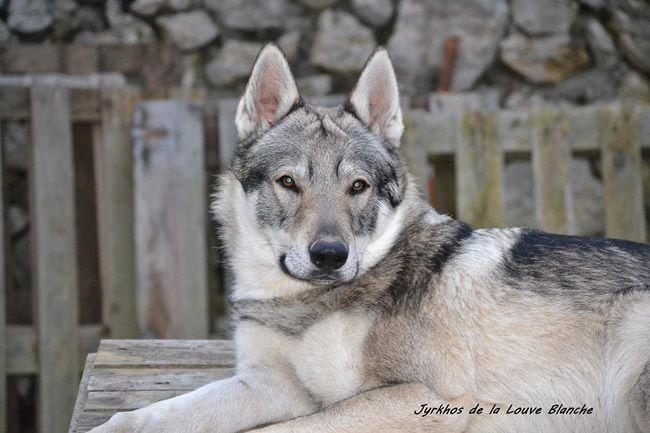 Jyrkhos De La Louve Blanche, chien Chien-loup tchèque - Le Wamiz du mois de janvier 2015