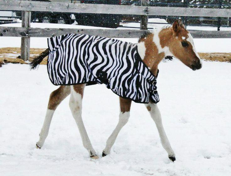 Baby horse in a zebra blanket! ♥
