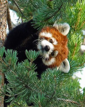 adorable red panda