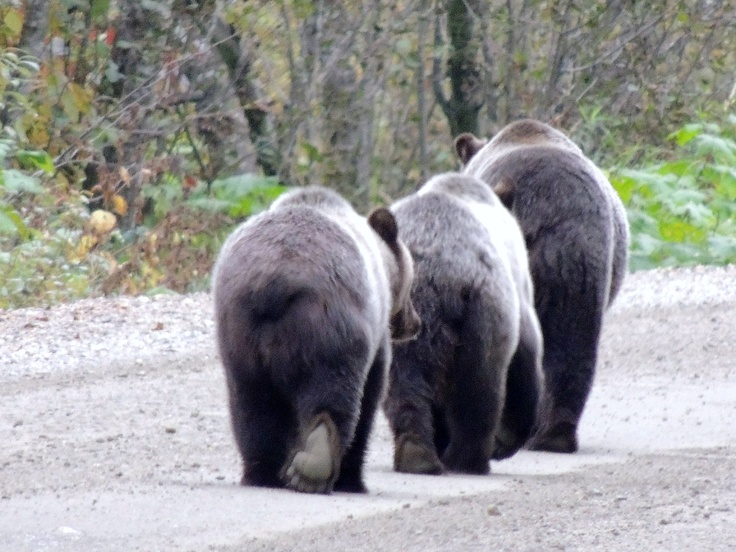 Grizzly Bear Bums
