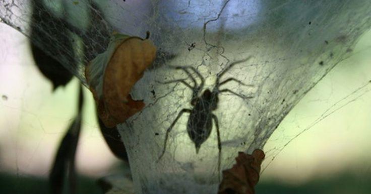 Cómo identificar una araña negra y blanca. Las arañas son uno de los animales más incomprendidos en todo. No hay duda de que debes mantener tu distancia de varias arañas venenosas, pero en términos generales las arañas son inofensivas y son una parte importante de nuestro ecosistema. Esto es cierto para las arañas saltadoras. Estas son generalmente de color negro y blanco y suelen ser solo ...