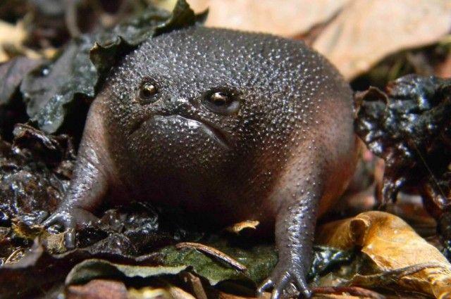 Meet the World's Grumpiest Frog | IFLScience -- move over, Grumpy Cat! Grumpy Frog is grumpier than you'll ever be. Black Rain Frog