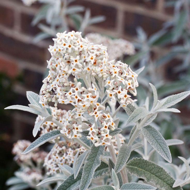 Buddleja Morning Mist Syn. Silver Anniversary - Buddleia, Plant in 9cm Pot