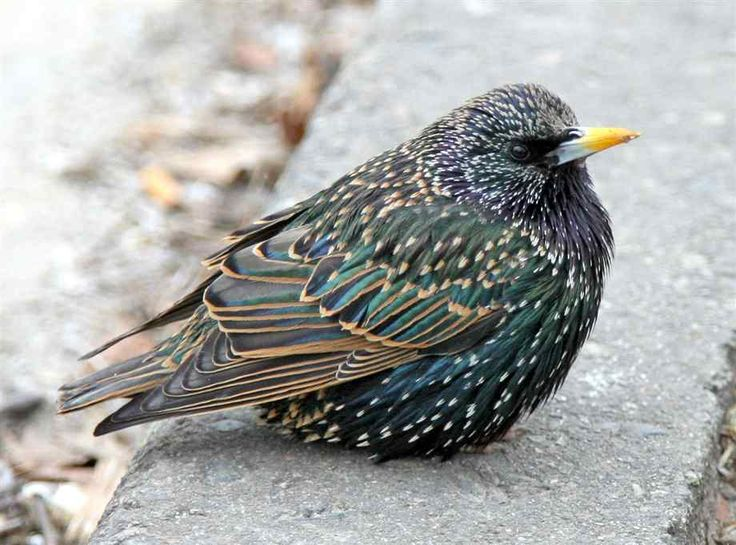 262 Best Corvids And Starlings Images On Pinterest Beautiful Birds