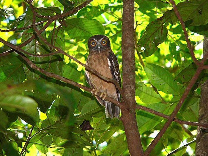 Sulawesi Scop Owl at Tangkoko National Park