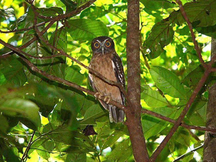 Sulawesi Scop Owl at Tangkoko National Park
