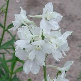 Pied d'Alouette 'Casablanca' floraison juin à septembre pour mon massif blanc-bleu