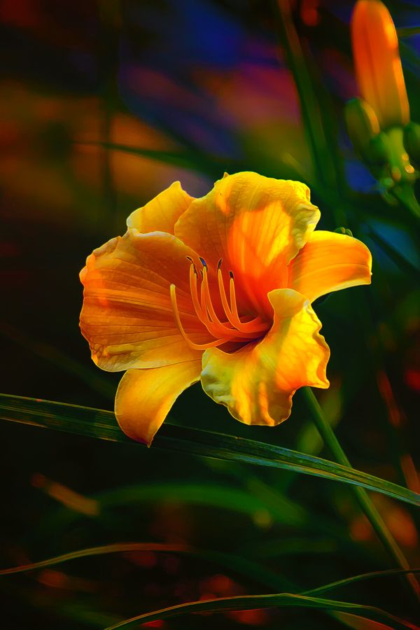 Rainbow Daylily Heat by Bill Tiepelman