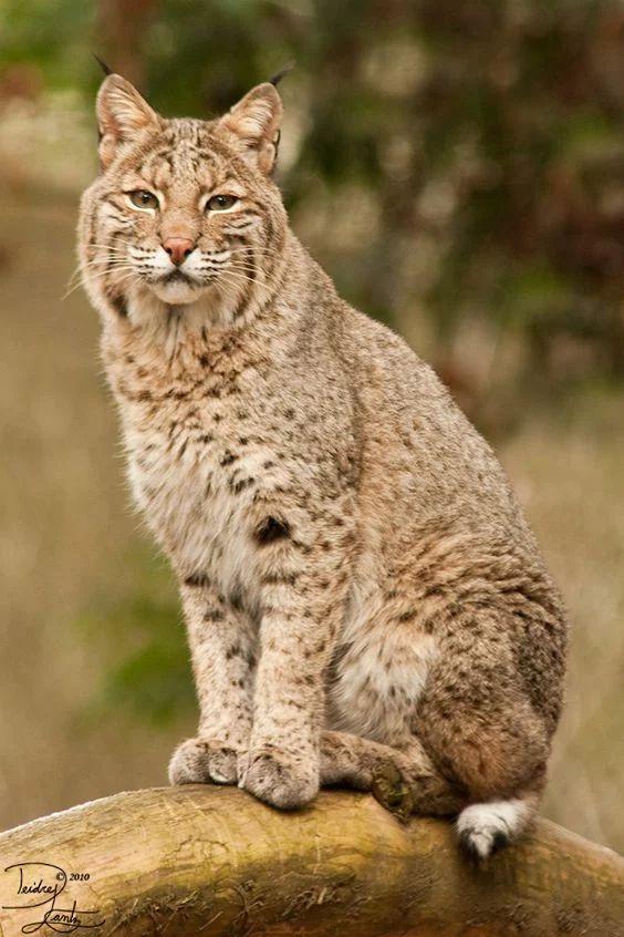 Bobcat sit by DeeOtter -  Lynx rufus... Oregon Zoo, Portland OR