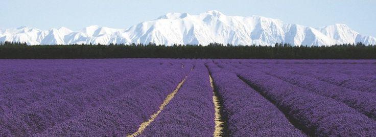 Lavender oil, 100% pure & natural - New Zealand - NZLavender Ltd