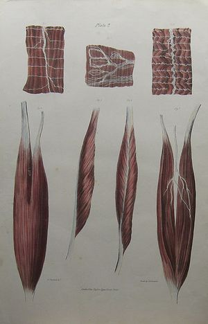 [Details of muscles depicting nerves and tendons, Plate 2] by Charles Joseph Hullmandel after William Fairland