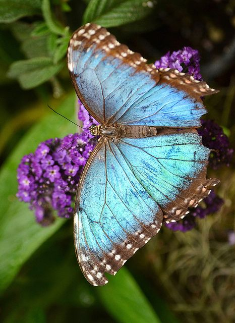 House of blues | A Common Blue Morpho at the San Diego Zoo's Safari Park Butterfly Jungle | Flickr - Photo Sharing!
