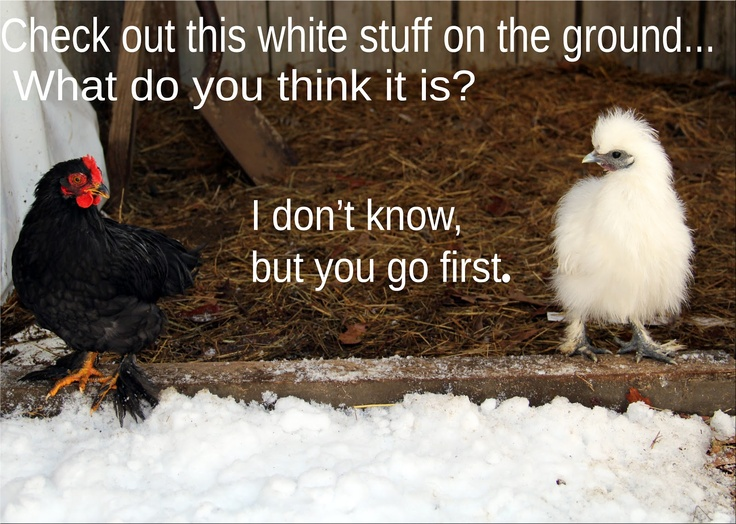 Funny Chicken: 17 Best Ideas About Chicken Humor On Pinterest