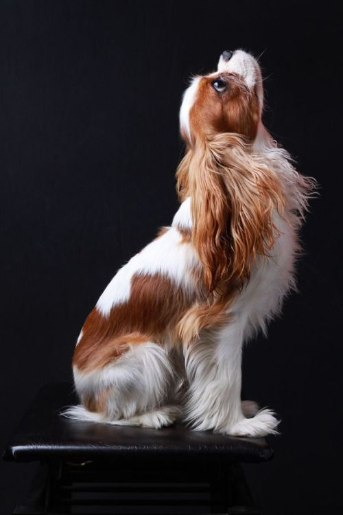 Gorgeous Cavalier King Charles Spaniel sitting pretty