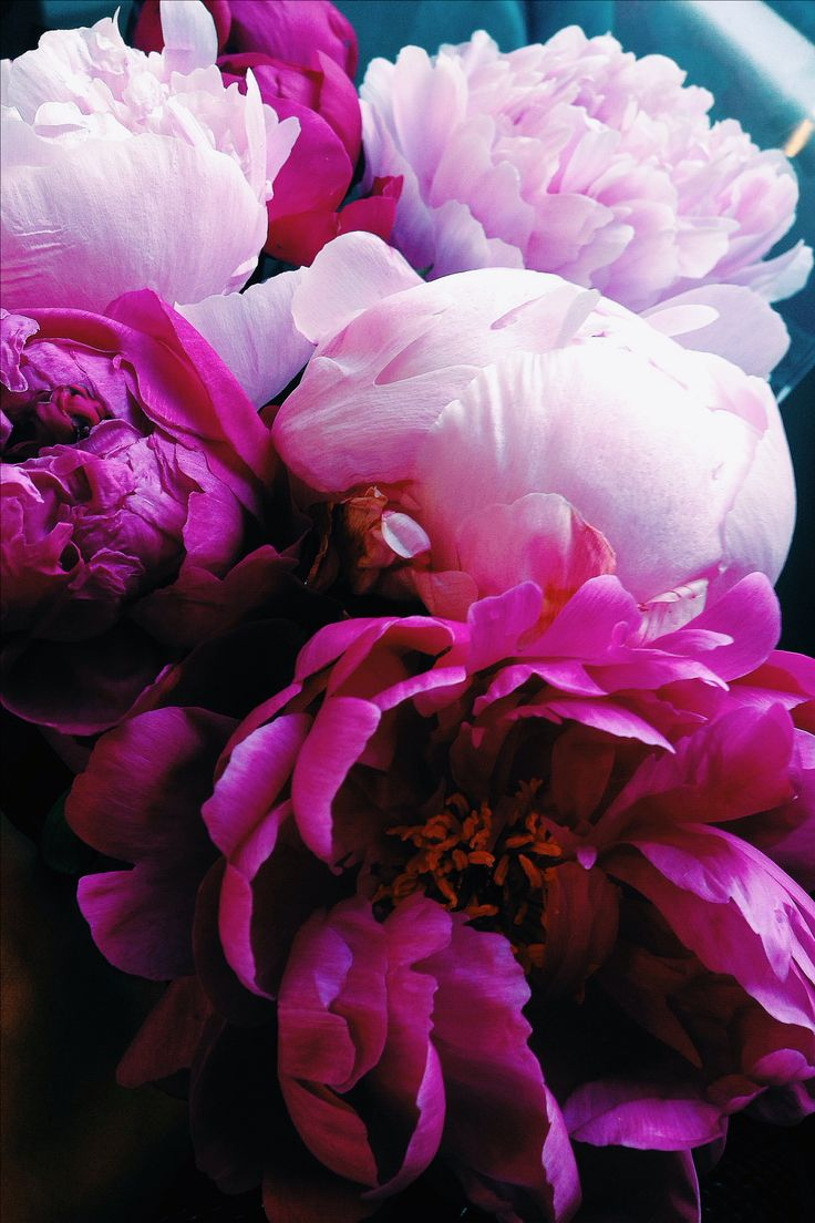 Beautiful peonies | Color your home with bright pink roses