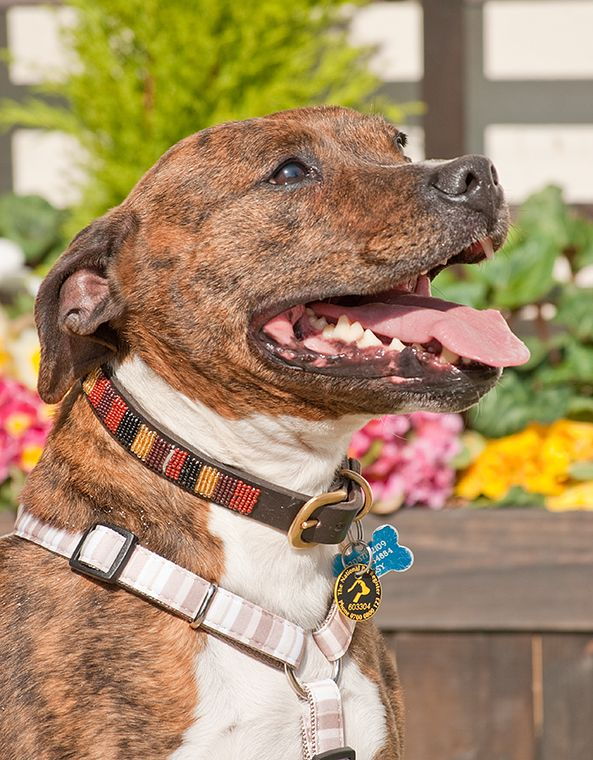 Biggsy is a peach brindle Staffie with white chest and toes! Biggsy always impresses people as a nice boy. He is loving and is everybody's friend. What more could you wish for. Needs to settle around other dogs that's all so low dog density would suit best. He is interested in his walks and his family..Simples!