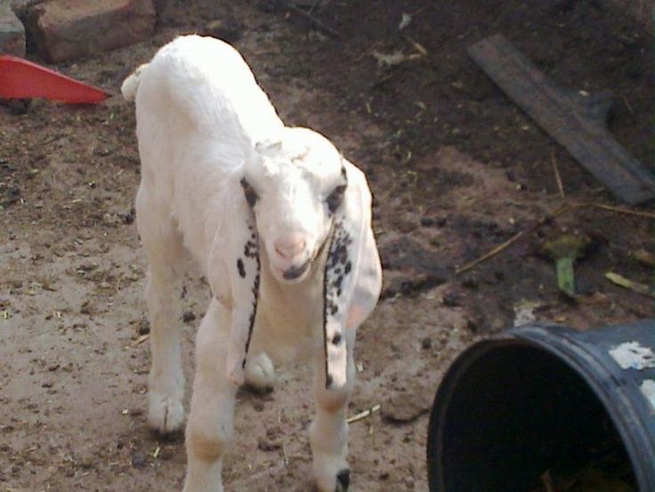 Beetal | Beetal Goat For Sale in Lahore - 19146 | mypets ...