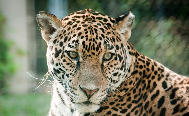 El Jefe — America's Lone Jaguar — is in Jeopardy (Again!) -   HELP SAVE EL JEFE!!!!!!!!!!!!!!!!!!!! IT IS HIS WORLD TOO!!!!!!!!  DEMAND the U.S. Forest Service STOP putting El Jefe and his home in jeopardy!  What's more important: shipping copper to China (with the environmental decimation left behind) or protecting El Jefe,  other wildlife, and the environment? Please Sign & Share Widely In PROTEST! Thank you!