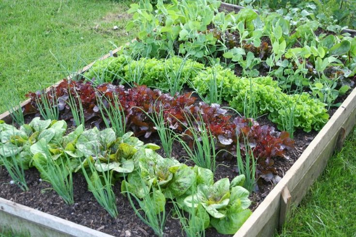 By June the lettuce have already been picked four times, with many other harvests made and to come