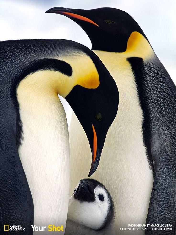 King penguine