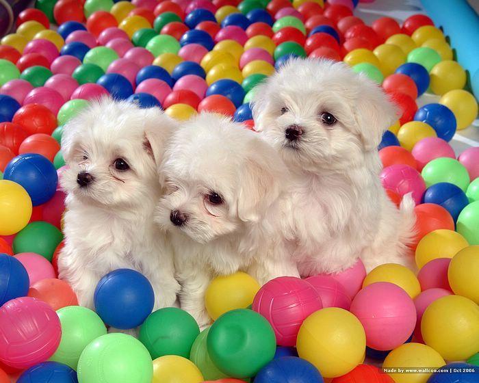 [72Pics] Cuddly White Maltese Puppies (Vol.1)  - 1600*1200 White Maltese Puppy - Maltese Maltese Puppies wallpaper 7 #Caredotcom  #RoyalNursery