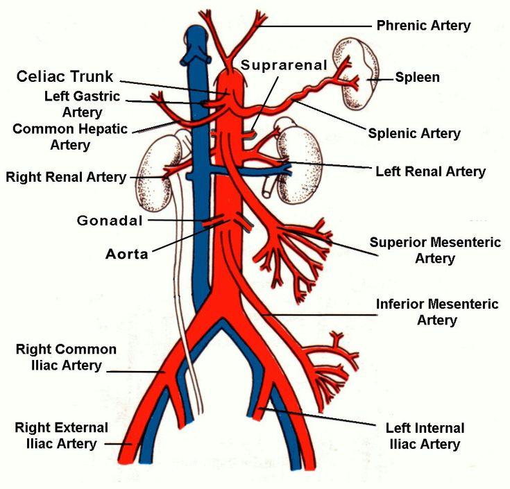Abdominal aorta_02 (Note: Inferior phrenic artery from Abdominal aorta & Superior phrenic artery from Thoracic aorta) ( Note: Renal vein is most anterior at hilum... Then Renal artery & Renal pelvis )