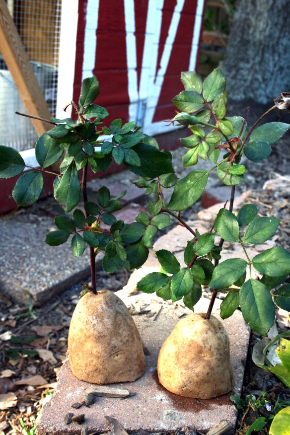 Growing rose cuttings with potatoes!