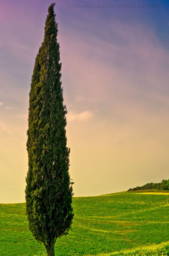 Cypress, Cupressus sempervirens, in Tuscany Italy