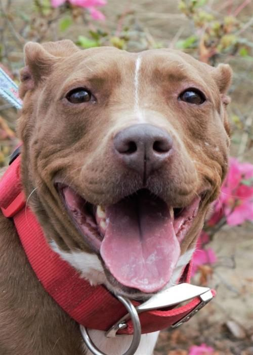 AT RISK 7/8/17 : Babe is super sweet. House trained and kennel trained. Has a wonderful personality. Good with children also. Not good with cats. Good with other dogs given time. She loves belly rubs and loves to lay on your lap. She has energy but tires out easy so limited there. She knows basic commands also. Babe is about 3 years old.