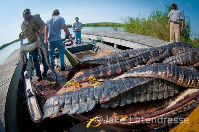 Grosse Savanne - Waterfowl and Wildlife Lodge - Louisiana alligator hunting, alligtor trophy hunts