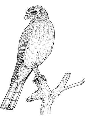 Ausmalbild Adler auf einem Ast Ausmalen Ausmalbilder