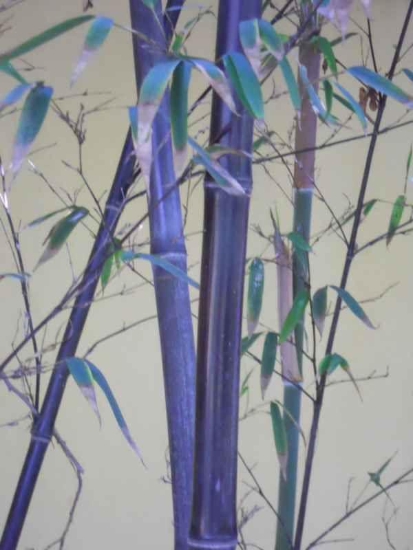 Phyllostachys nigra 'Munro' v 1