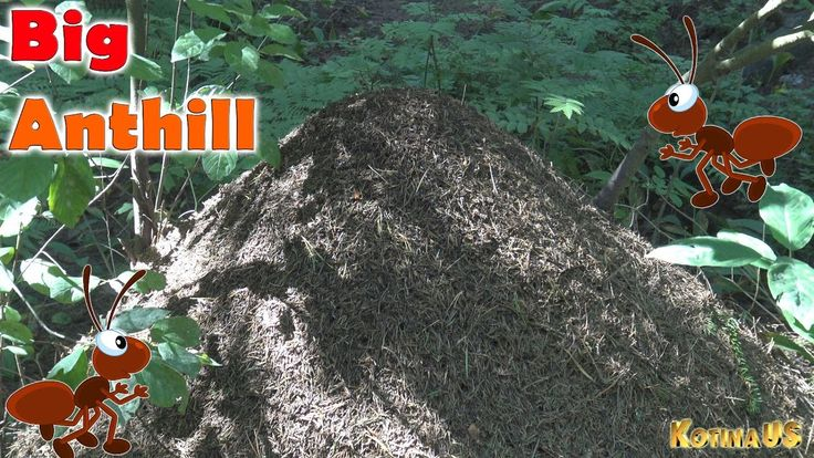 Big Anthill In The Woods Beautiful Nature Forest and Ants