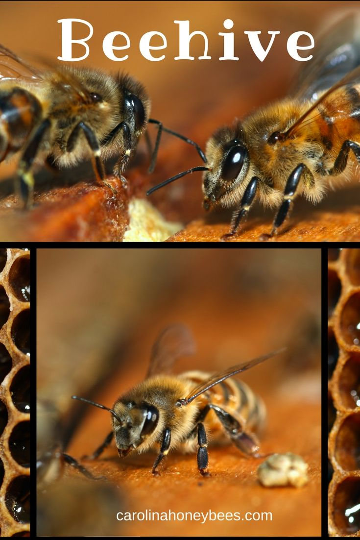 What is a beehive?  Is it wood, wax or plastic? No, it is the bees, brood, comb and all the parts that make the magic happen. A beehive is a family and all the components necessary to sustain life. via @https://www.pinterest.com/carolinahoneyb
