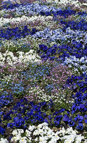 Flower Bed Of Annuals Featuring Diffe Shades Blue Pansies Botanical Garden Tübingen Germany Beautiful