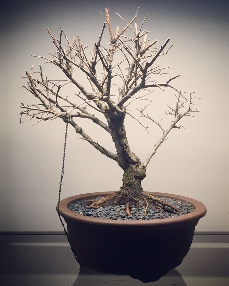 Chinese Elm 03-07-16. First potting ready for spring #bonsai #tree #gardening