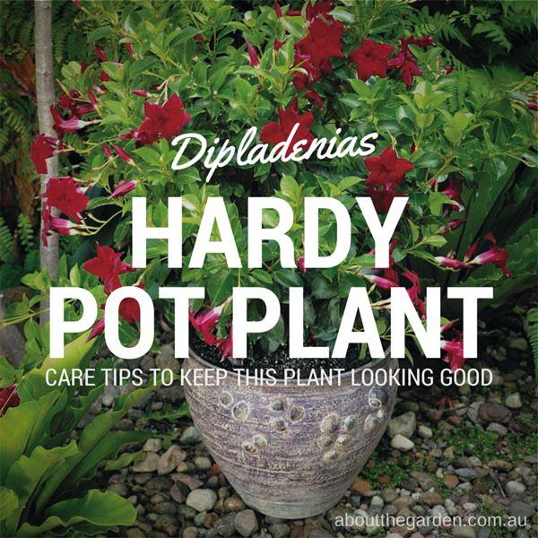 red flowers Dipladenias - hardy flowering plants good for pots aboutthegarden.com #flower #red #potplant #garden #plant #yard #hardy #gardeningaustralia #aboutthegarden