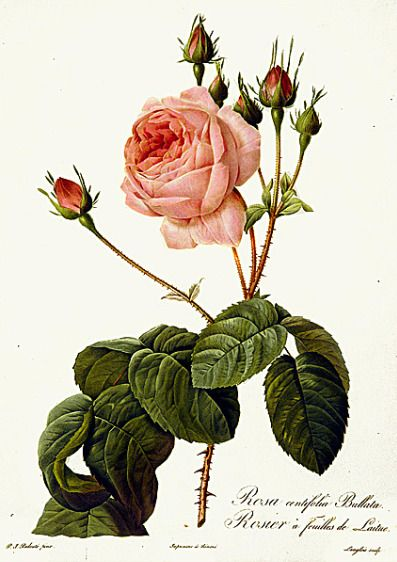 Pierre-Joseph Redoute  7  Lettuce-leaved Cabbage Rose  1817