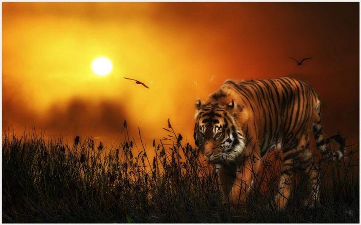 Wild Tiger Wallpaper | wild animal tiger wallpapers, wild tiger wallpaper, wild tiger wallpaper free download for pc, wild tiger wallpapers mobile, wild white tiger wallpaper